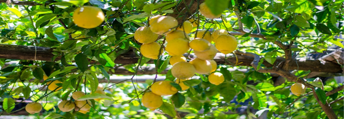 Only natural and fresh lemon        are selected for our liquor